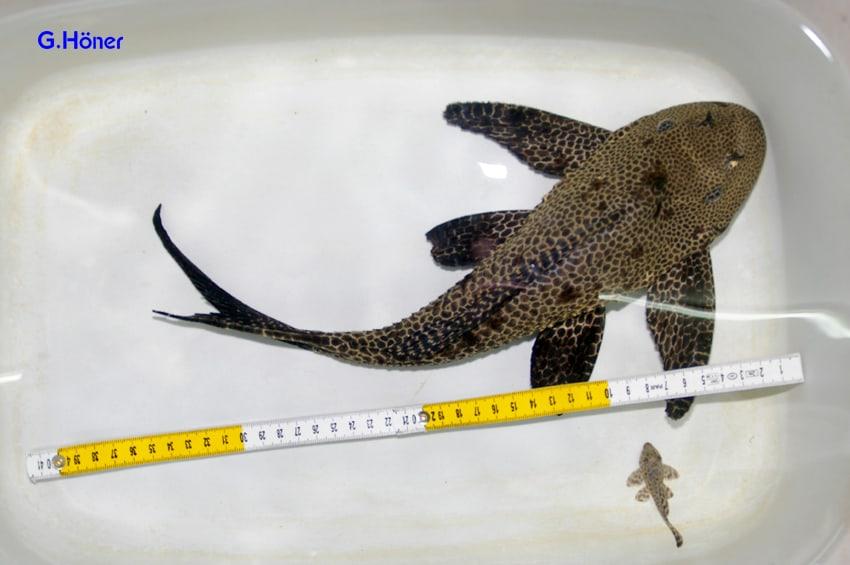 einige Welsarten werden über 40cm groß