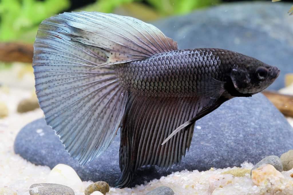 Betta splendens - Siamesischer Kampffisch 17
