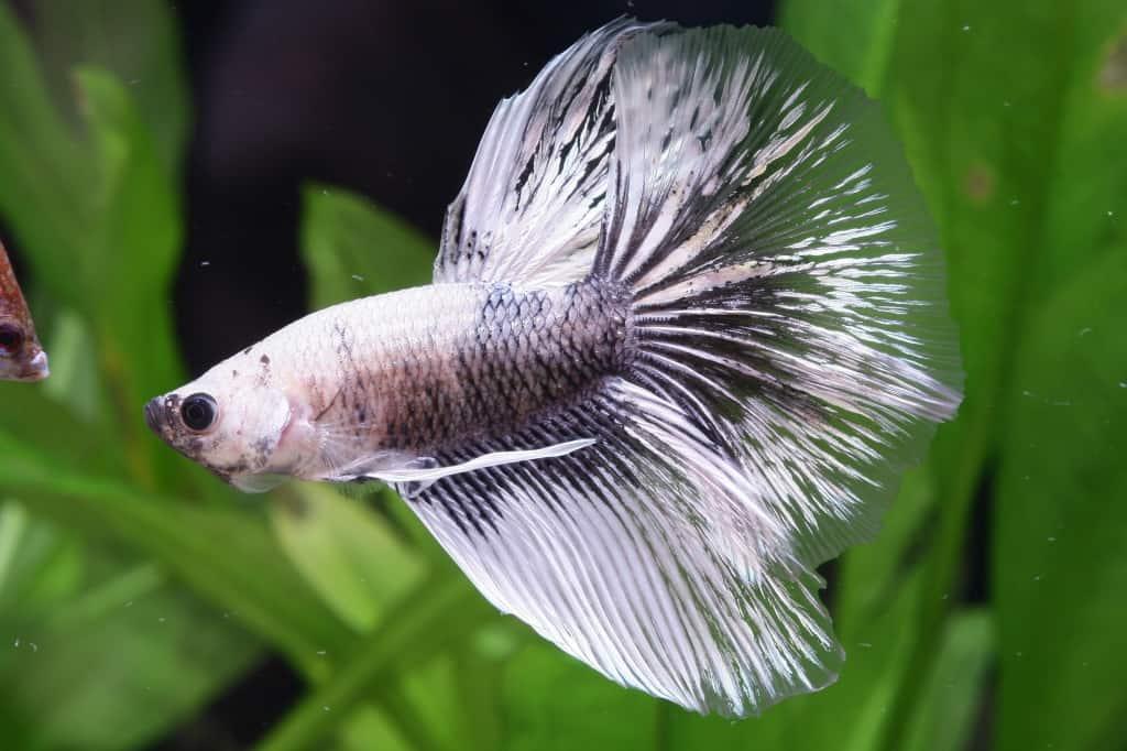 Betta splendens - Siamesischer Kampffisch 11
