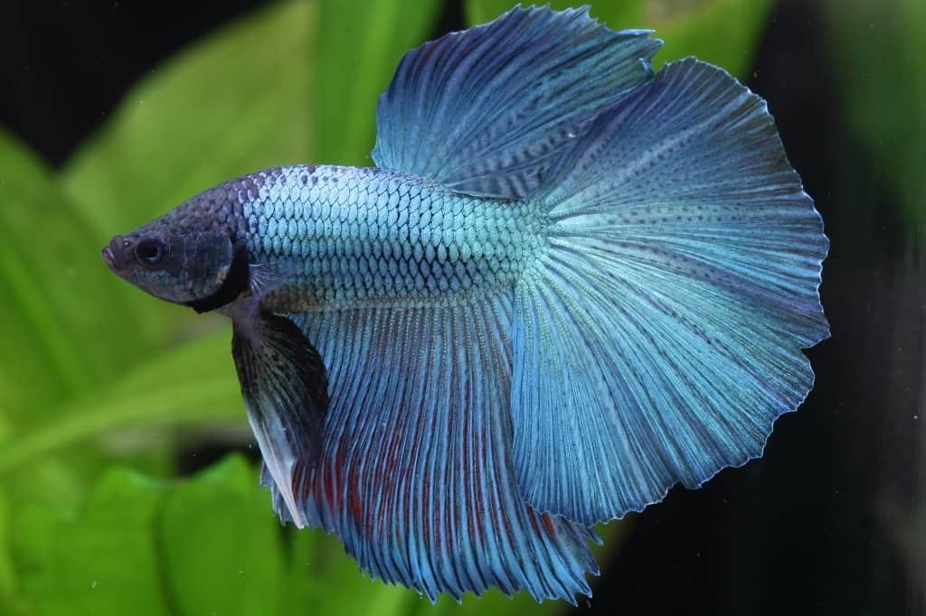 Betta splendens - Siamesischer Kampffisch 9