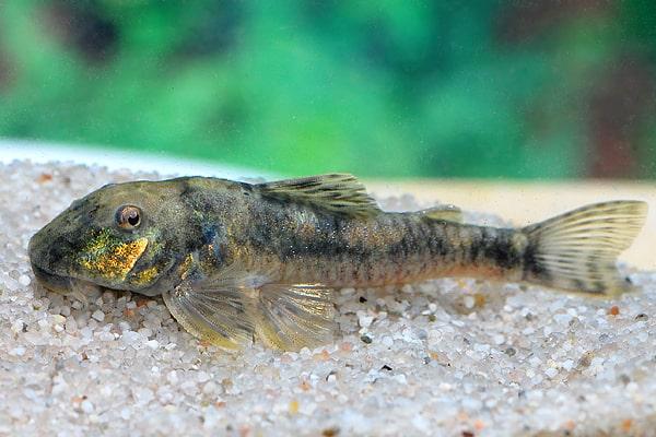 Nachzucht des lda 25 gelungen my fish for Algenfresser gartenteich fische