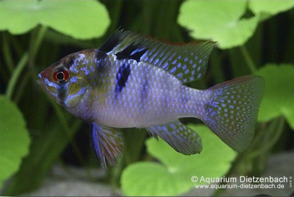 "Schmetterlingsbuntbarsch ""blue smaragd"" 1"