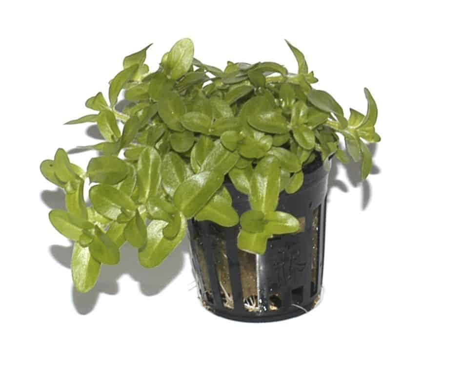 Bacopa caroliniana - Großes Fettblatt 6
