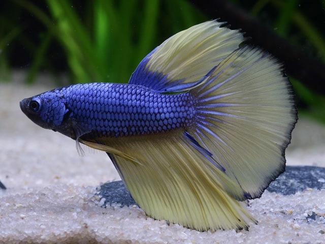 Betta splendens - Siamesischer Kampffisch 12