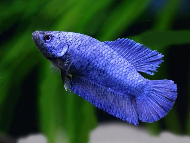 Betta splendens - Siamesischer Kampffisch 8
