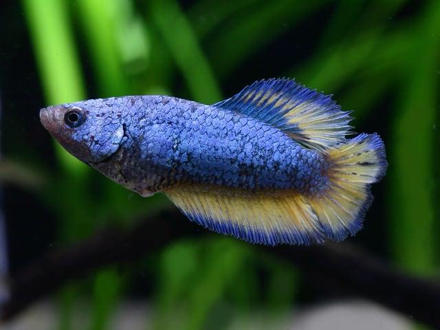 Betta splendens - Siamesischer Kampffisch 7