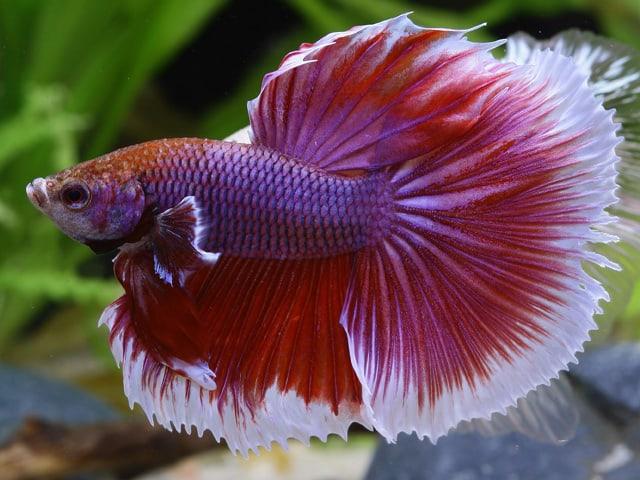 Betta splendens - Siamesischer Kampffisch 6