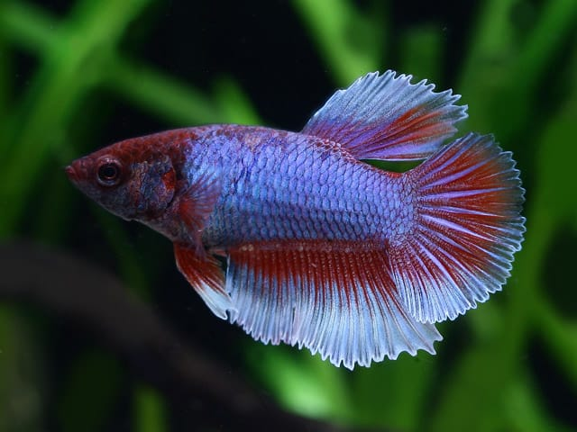 Purple and white betta fish for What is the lifespan of a betta fish