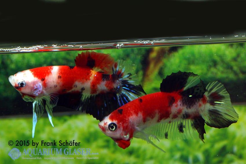 Kat Koi - Quelle: Aquarium Glaser