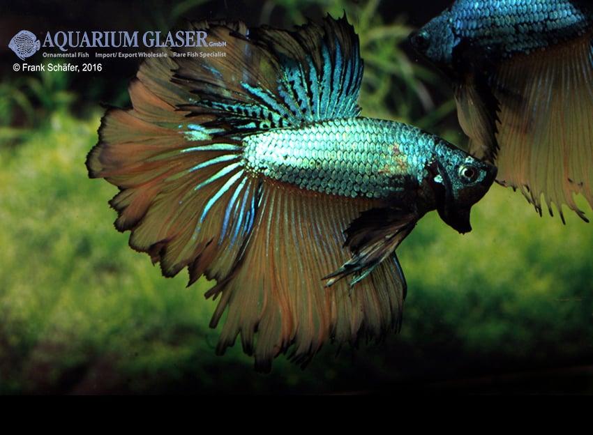 Betta splendens - Siamesischer Kampffisch 24