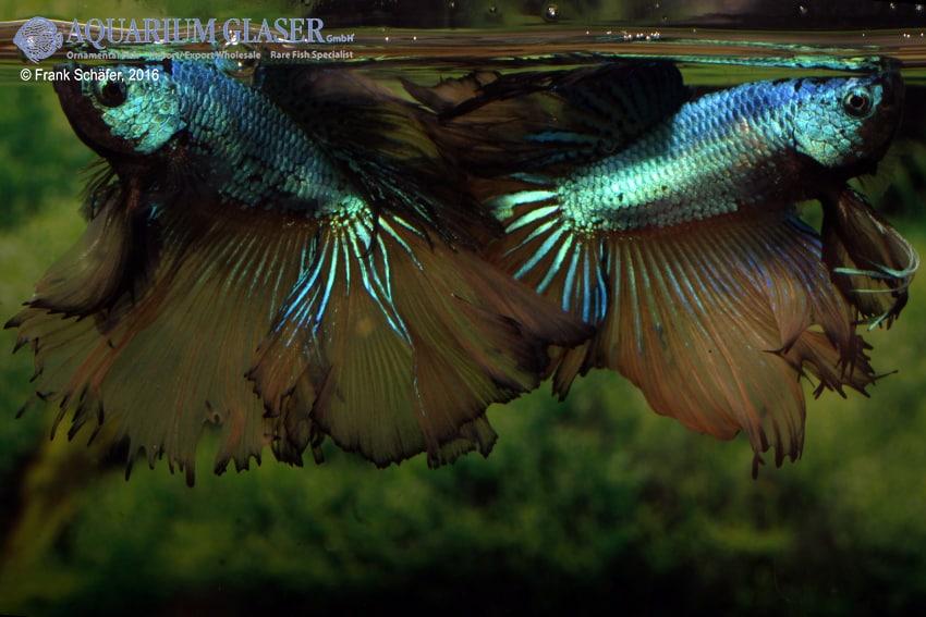 Betta splendens - Siamesischer Kampffisch 25