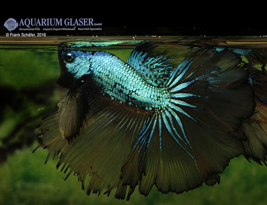 Betta splendens - Siamesischer Kampffisch 26