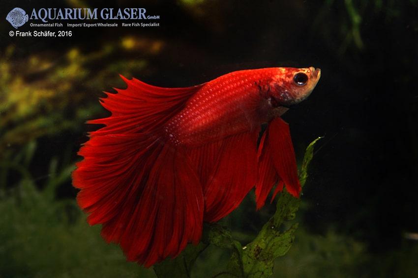 Betta splendens - Siamesischer Kampffisch 28