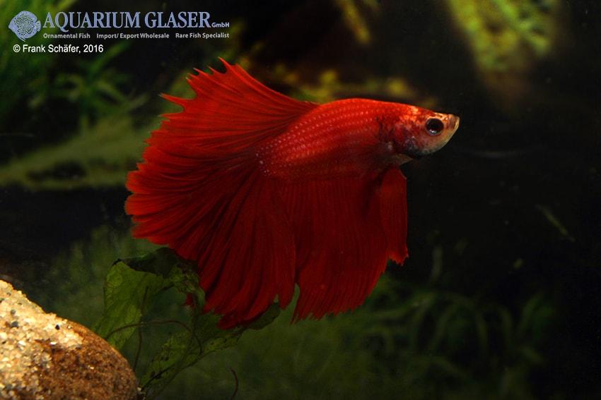 Betta splendens - Siamesischer Kampffisch 29