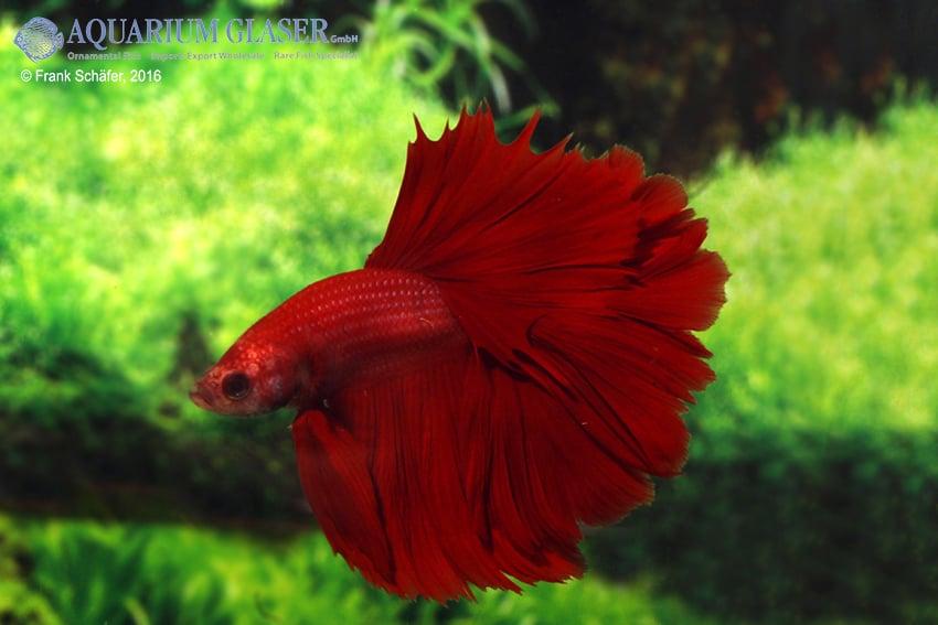 Betta splendens - Siamesischer Kampffisch 27