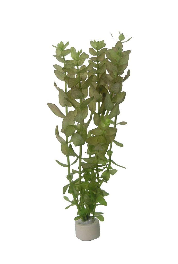 Bacopa caroliniana - Großes Fettblatt 4