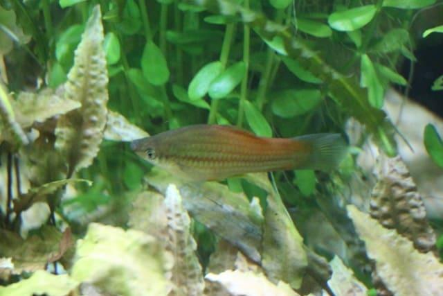 Xiphophorus hellerii - Schwertträger 26