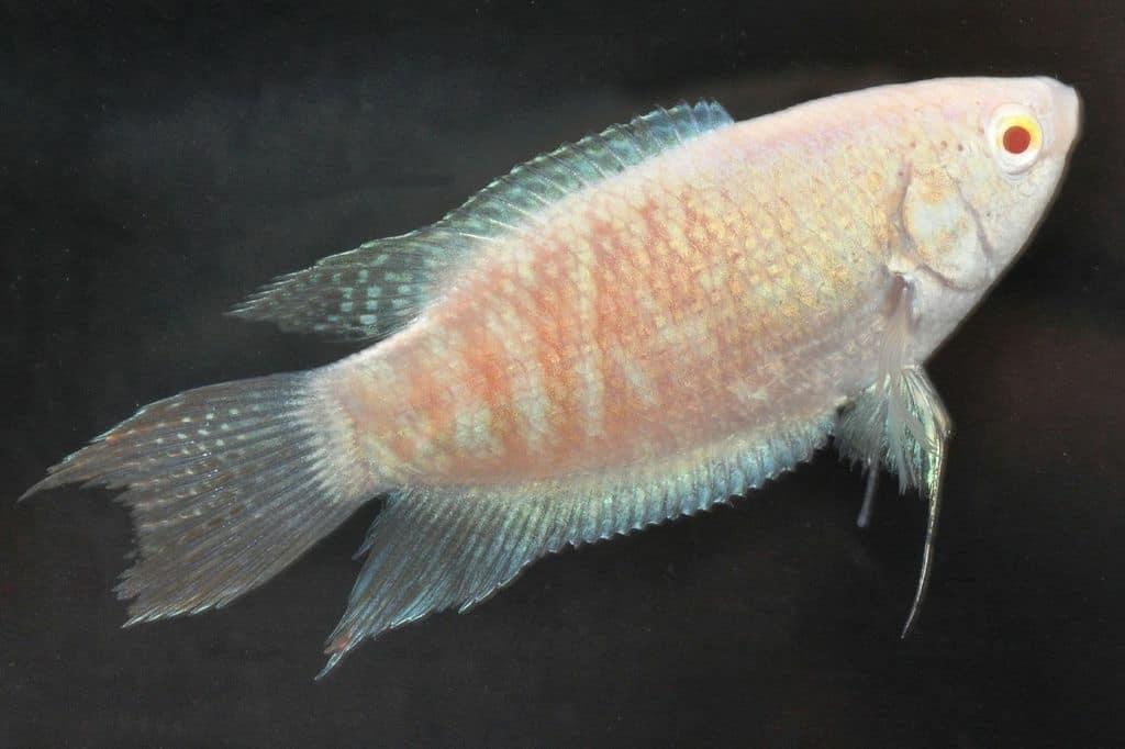 Makropodus opercularis - Paradiesfisch, Makropode 8