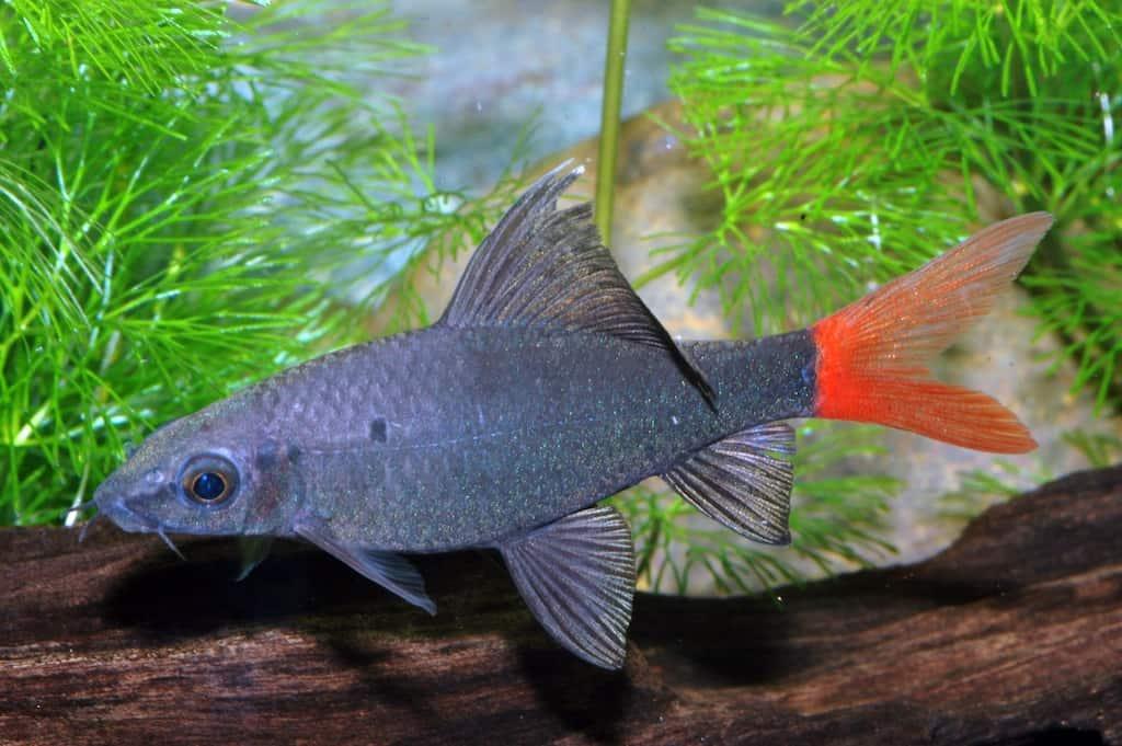 Epalzeorhynchus bicolor - Feuerschwanz 2