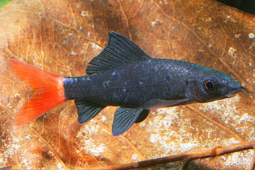 Epalzeorhynchus bicolor - Feuerschwanz 3