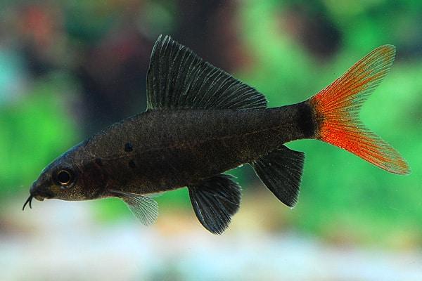 Epalzeorhynchus bicolor feuerschwanz my fish for Robuste zierfische