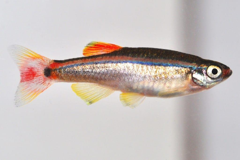 Tanichthys albonubes - Kardinalfisch 1