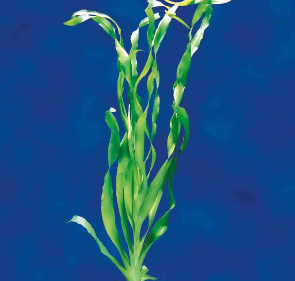 Crinum thaianum - Thailand-Wasserlilie 2