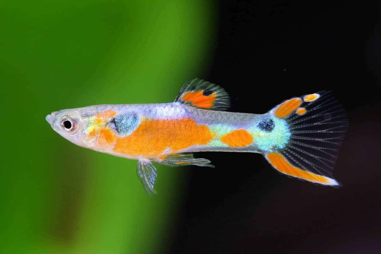 Poecilia reticulata - Guppy 22