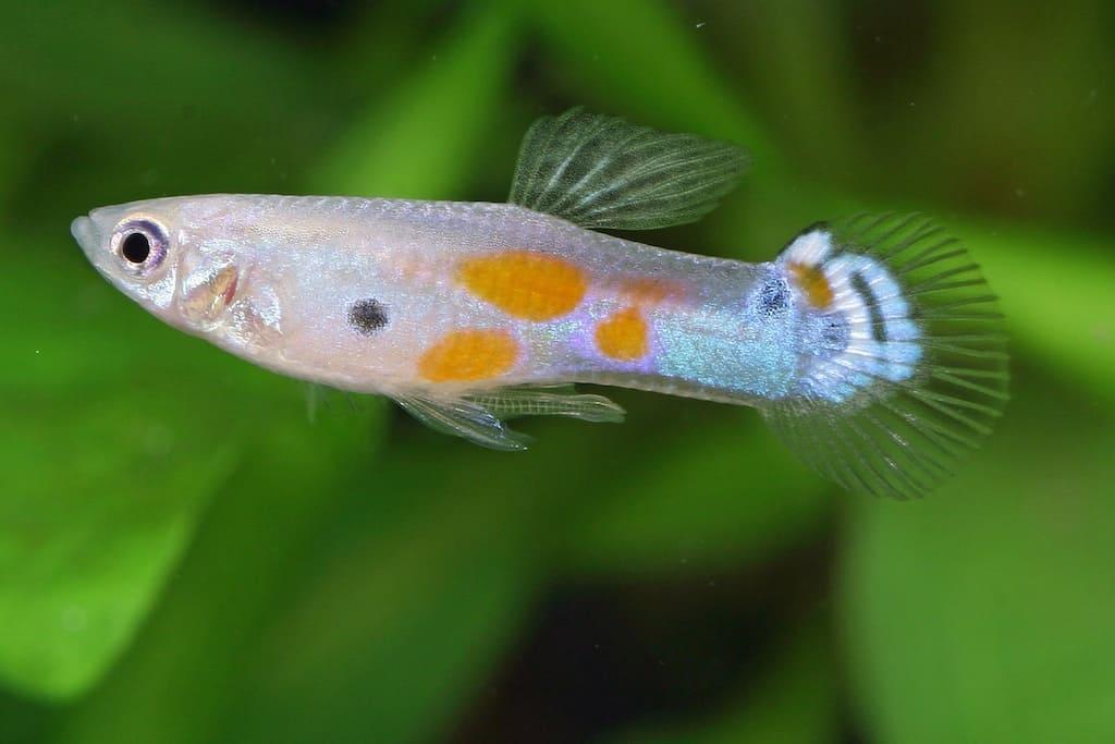 Poecilia reticulata - Guppy 19