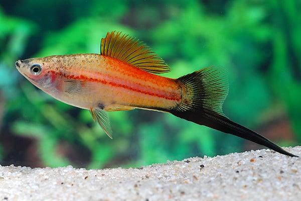 Xiphophorus hellerii - Schwertträger 12