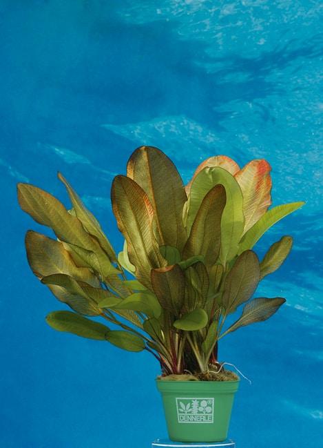 Echinodorus spec. Dschungelstar® Nr. 2 2