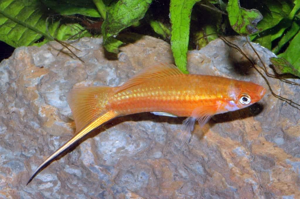 Xiphophorus hellerii - Schwertträger 13