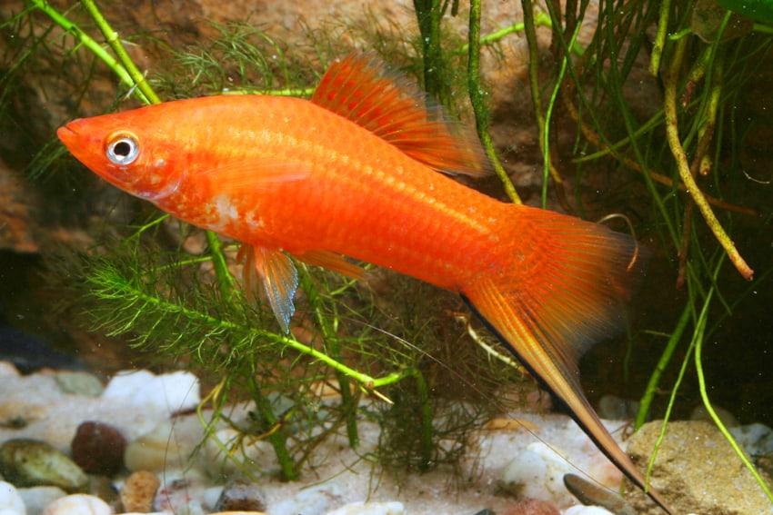 Xiphophorus hellerii - Schwertträger 5
