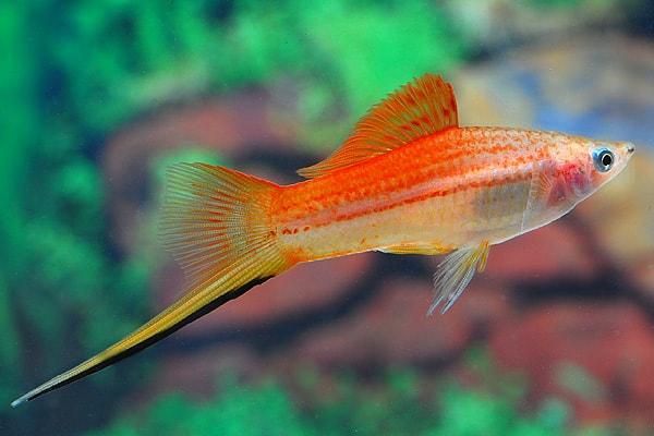 Xiphophorus hellerii - Schwertträger 20