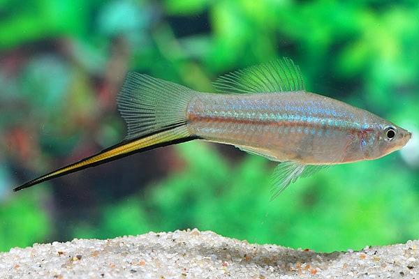 Xiphophorus hellerii - Schwertträger 9