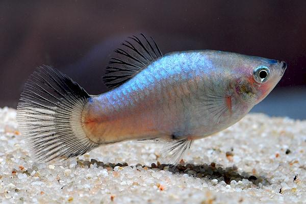 Xiphophorus maculatus - Platy 1
