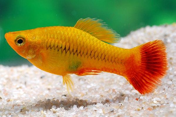 Xiphophorus variatus - Papageienplaty 1