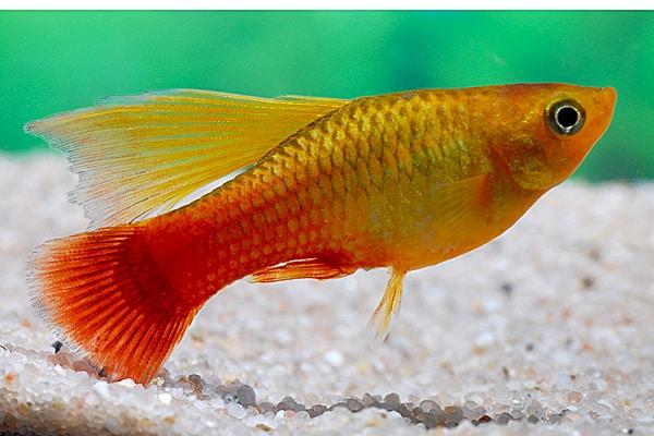 Xiphophorus variatus - Papageienplaty 2