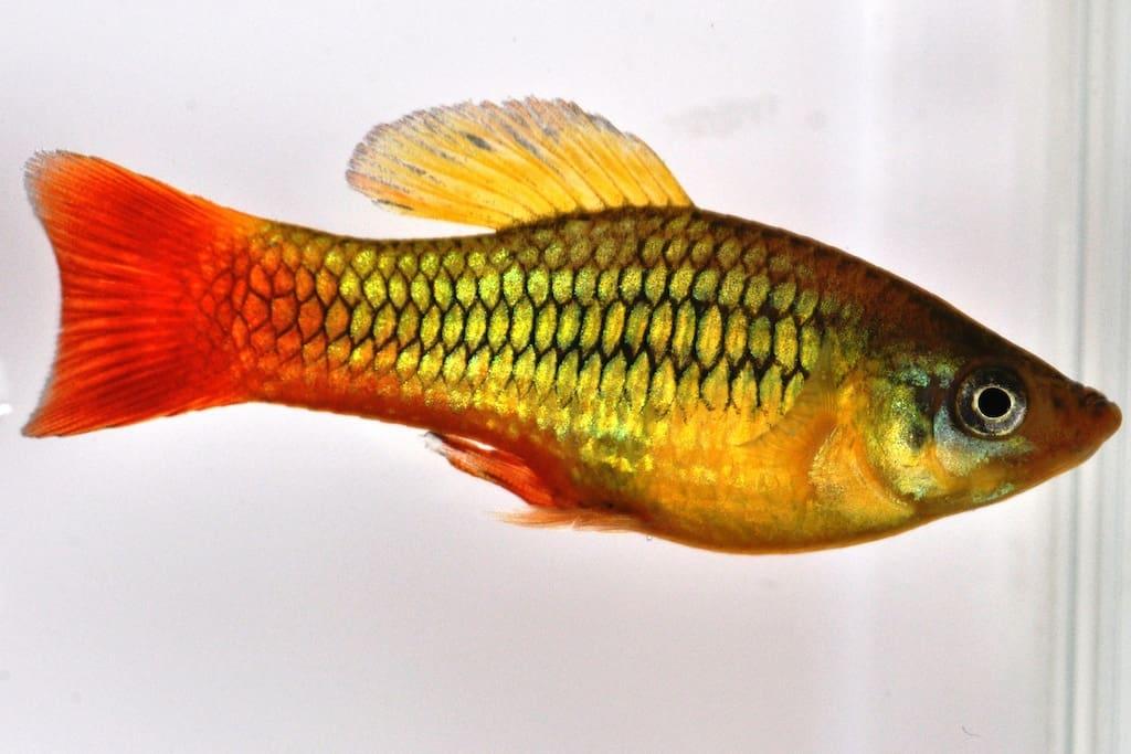 Xiphophorus variatus - Papageienplaty 3