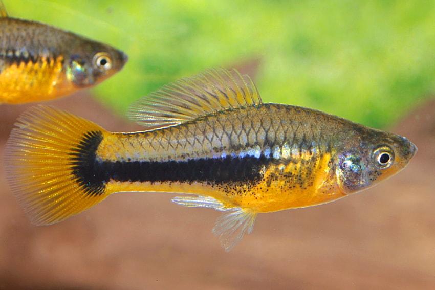 Xiphophorus variatus - Papageienplaty 4
