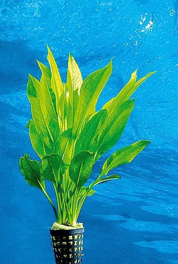 Echinodorus bleheri - Große Amazonas-Schwertpflanze 3