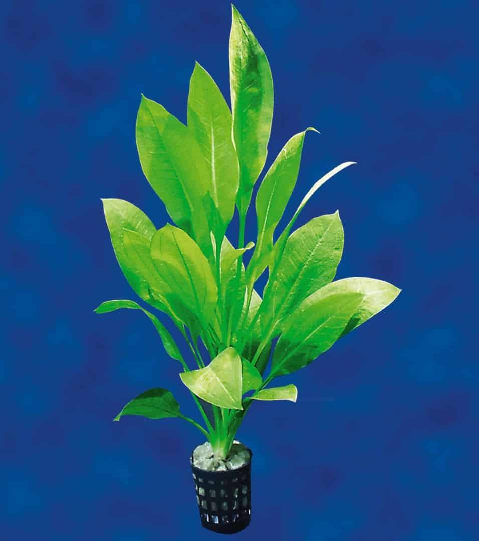 Echinodorus bleheri - Große Amazonas-Schwertpflanze 4