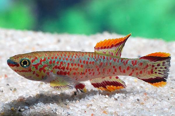 Karl Gutsche - vom Hobby-Aquarianer zum Züchter 3