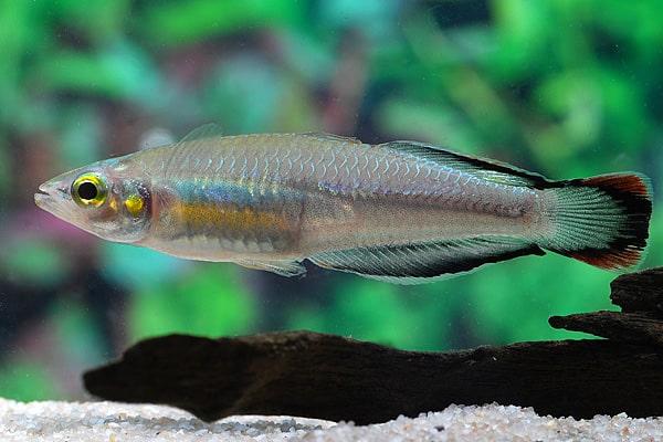 Bedotia geayi - Madagaskar-Ährenfisch 3