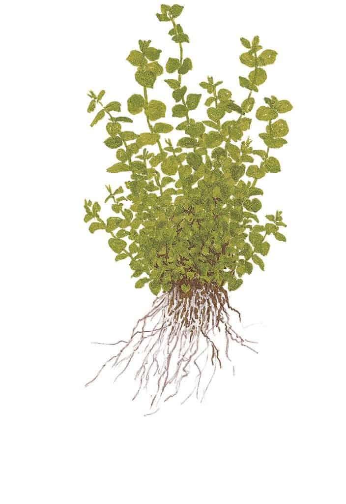 Micranthemum umbrosum - Perlenkraut 5