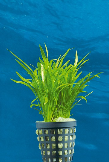 Echinodorus tenellus - Grasartige Zwergschwertpflanze 1