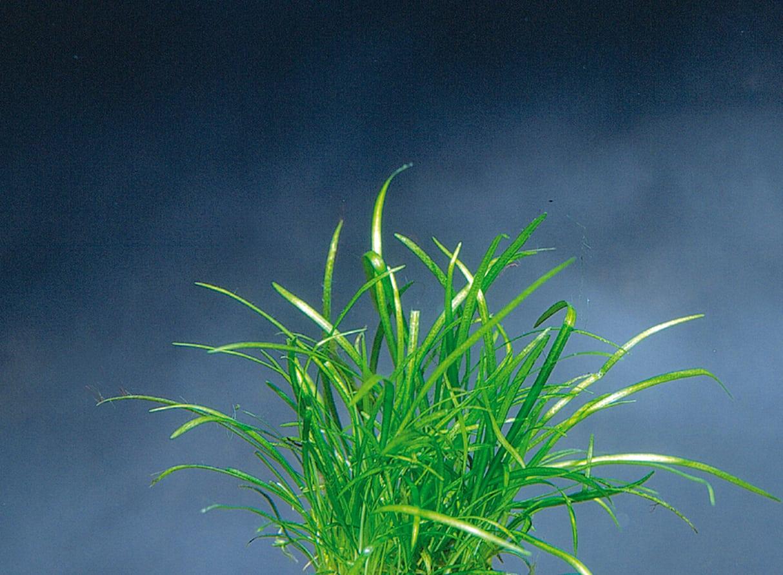 Echinodorus tenellus - Grasartige Zwergschwertpflanze 2