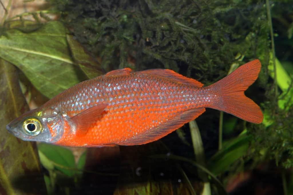 Glossolepis incisus - Lachsroter Regenbogenfisch 1