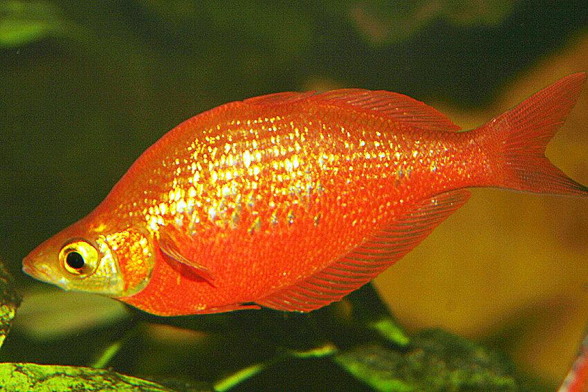 Glossolepis incisus - Lachsroter Regenbogenfisch 2
