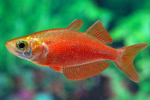 Glossolepis incisus - Lachsroter Regenbogenfisch 3